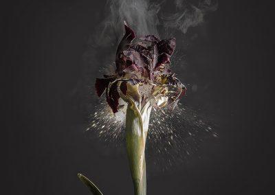 Ori Gersht, Iris atropurpurea D01, 2018, Archival pigment print, 47 1/2h x 39 3/8w in
