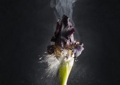 Ori Gersht, Iris atropurpurea D02, 2018, Archival pigment print, 47 1/2h x 39 3/8w in