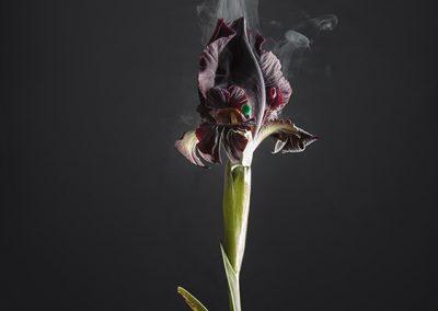Ori Gersht, Iris atropurpurea D03, 2018, Archival pigment print, 47 1/2h x 39 3/8w in