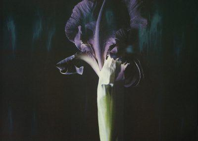 Ori Gersht, Iris atropurpurea P06, 2018, Archival pigment print, 15 3/4h x 12 5/8w in