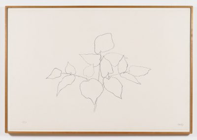 Ellsworth Kelly, Sarsparilla (or Ailanthus Leaves), 1979-1980, Transfer lithograph, 31h x 47w in